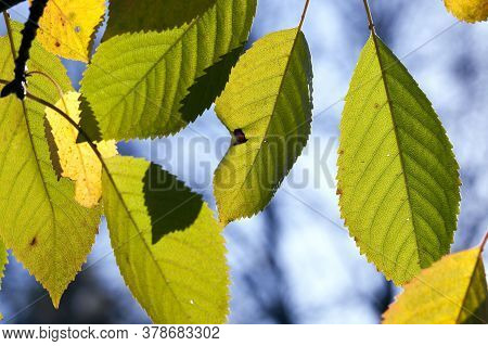 Specifics And Features Of The Autumn Season On The Example Of Deciduous Plants, Autumn Leaf Fall In