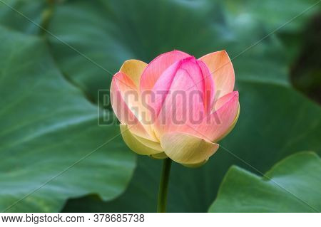 A Pink Lotus Bud (nelumbo) Blooms In The Water. Lotus Close-up. Pink Lotuses Are Delicate And Beauti