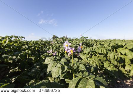 An Agricultural Field Where Potatoes Are Grown, A Furrow With Green Sprouts On Fertile Soils Against