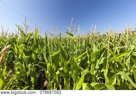 Agricultural Field Where Sweet Corn Is Grown For The Production And Receipt Of Food, Agriculture Wit