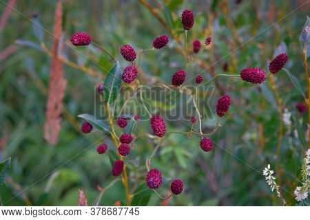 Great Burnet Plant In Meadow Sanguisorba Officinalis.