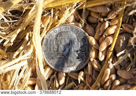 American Coins Are Cents On An Agricultural Field Where Wheat Or Other Cereals Have Been Harvested