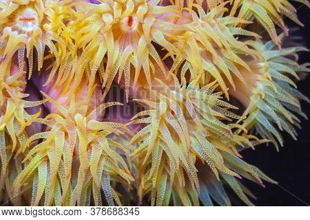 Orange Cup Coral,tubastraea Coccinea,belongs To A Group Of Corals Known As Large-polyp Stony Corals