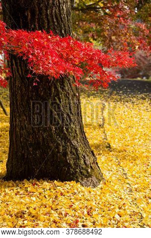 Red Maple Leaves And Yellow Ginkgo Fallen Leaves In Front Of Ginkgo Trunk