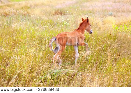 Foal Runs Through The Grass . Young Horse Plaing On The Pasture