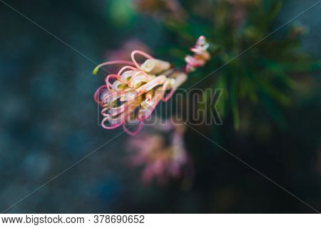 Native Australian Grevillea Semperflorens Plant With Yellow Pink Flowers Outdoor In Sunny Backyard S