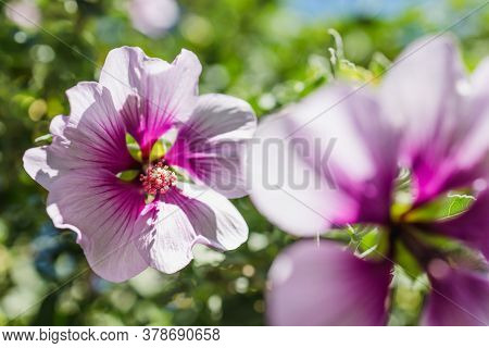 Close-up Of Hibiscus Syriacus Althea Rose Of Sharon Flower (also Called Aphhrodite Hibiscus) With Pu