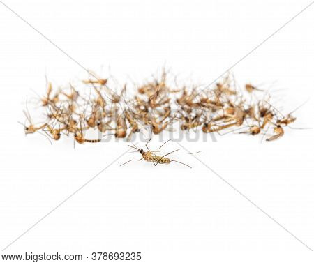 Dead Mosquitoes On White Background, Dangerous Vehicle Of Dengue Virus, Malaria And Other Infections