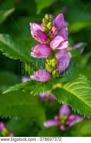 A Beautiful Lythraceae Flower In Brainerd, Minnesota