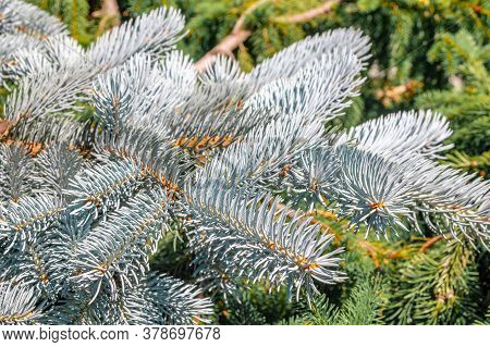Background Of Blue Spruce Branchesbackground Of Branches Of Blue Spruce And Bright Needles