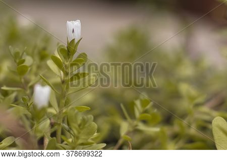 Indian Medicinal Herb Bacopa Monnieri, Herb Bacopa Is A Medicinal Herb Used In Ayurveda, Also Known