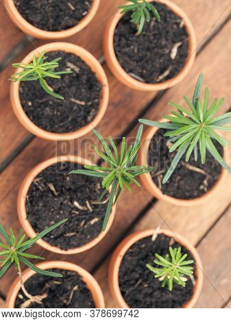 Small Seedlings Of The Nordmann Fir In Plant Pots On A Plant Table, Gardening Or Forestry Concept, E