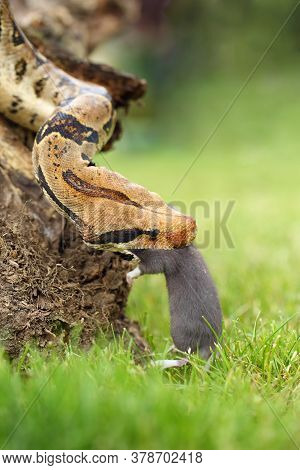 The Boa Constrictor (boa Constrictor), Also Called The Red-tailed Or The Common Boa, With Prey Caugh