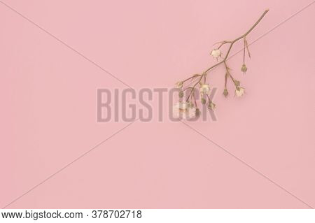 Sprigs Of Roses White On Pink Background, Copy Space. Minimal Style Flat Lay. For Greeting Card, Inv
