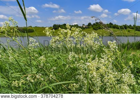Blooming Bedstraw Bush Close-up Against Blurred Rural Landscape With Pond. A Wild Galium Album Plant