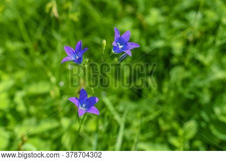 Single Flowering Spreading Bellflower Stem Closeup Isolated On Natural Green Blurred Background Of M