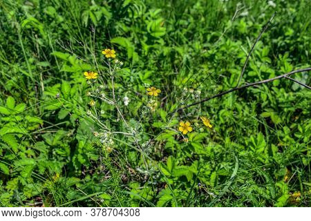 Blooming Silver-leaf Cinquefoil Growing Among Lush Green Grass On A Sunny Spring-summer Day. Medicin