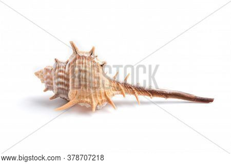Isolated Thorn Conch Seashel On The White Background