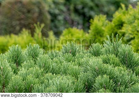 Coniferous Shrubs. Selective Focus On A Evergreen Pine Hedge In Foreground Over Blurred Mixed Forest