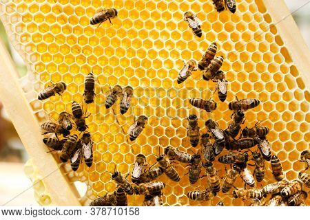 Golden Honeycomb With Bees In An Apiary Close-up. Apiculture.