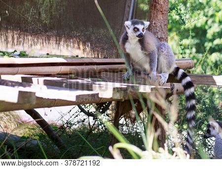 Ring Tailed Lemur Posing On A Wooden Platform With A Natural Forest Type Background