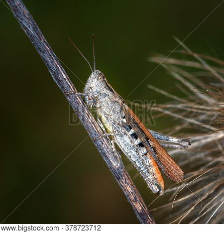 Gray Grasshopper Sitting On A Dry Branch, On A Dark Background, Close-up