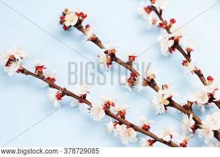 Sprigs Of A Fruit Tree With Flowers On A Blue Background. Place For Your Text. Spring Concept. Top V