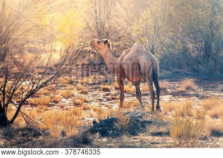 An image of a lonely camel in the australian outback