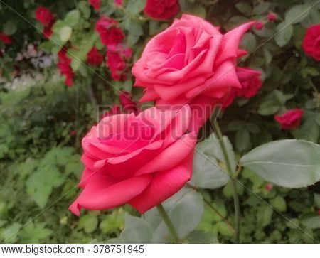 Two Showy Red Roses Close-up. Delicate Rose Petals On A Background Of Green Leaves. Summer Period. P