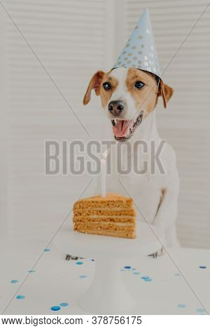 Indoor Shot Of Jack Russel Terrier Blows Burning Candle On Birthday Delicious Cake, Keeps Paws On Ta