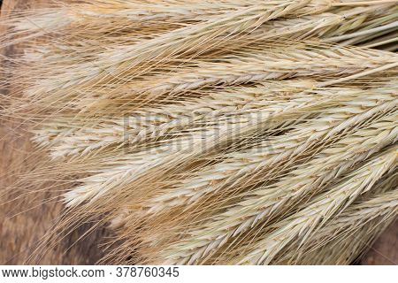 Bunch Of Barley Ears Close Up. Ears Of Barley Background. Agriculture Concept.