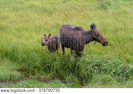 Cow And Calf At A Stream. Colorado Moose Living In The Wild