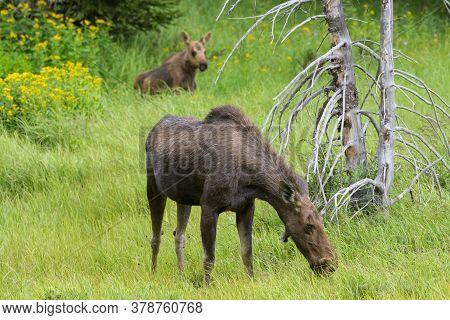 Cow And Calf. Colorado Moose Living In The Wild