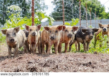 Six Piglets Of The Hungarian Mangalica Stand In A Row On A Sunny Day Outside. Cute Little Piglets At