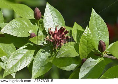 Carolina Allspice Branch - Latin Name - Calycanthus Floridus