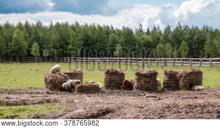 Rural Landscape, In A Paddock, On Rolls Of Hay Are Sheep.