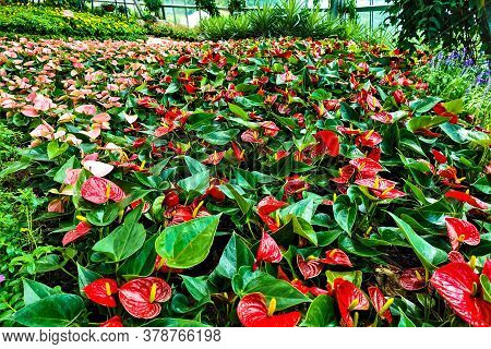 Bright Tropical Flower Bed In The Garden. Red Flowers With Yellow Pistils Among Green Leaves. A Carp