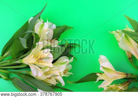 Flowers. Blooming Freesia Isolated On Green Background. House Flowers And Plants.copy Space. Place F