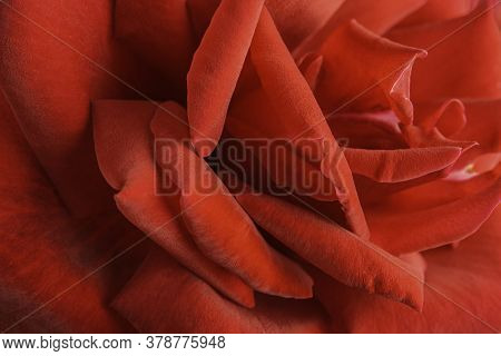Extreme Close-up Or Macro Shot With Shallow Depth Of Field And Very Selective Focus Of A Red Rose Fl