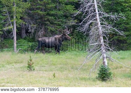 Colorado Moose Living In The Wild. Bull Moose On The Edge Of A Forest.