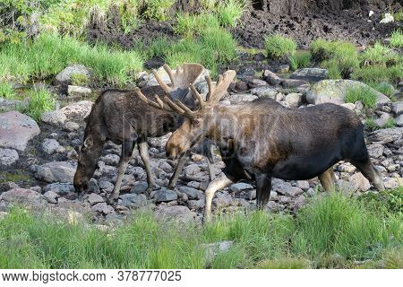 Colorado Moose Living In The Wild. Two Bull Moose In A Spring.