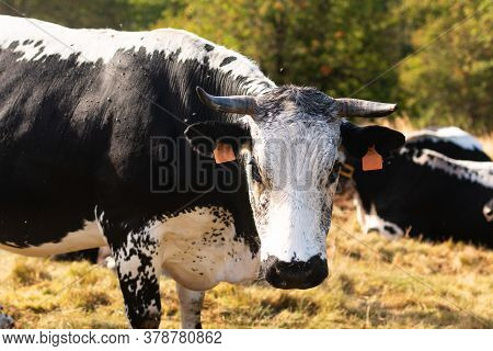 Organic  Cattle Race Bovine Cow In Mountain Fields On  Summer Afternoon