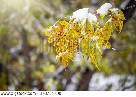 Green And Yellow Maple Leaves In Early Autumn Covered With Snow. First Snow On The Green Grass And F