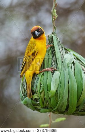 The southern masked weaver or African masked weaver (Ploceus velatus) building its nest