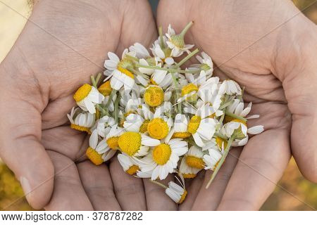 Man's Palm With Chamomiles On Sunny Summer Day. Collecting Pharmacy Chamomile For Chamomile Tea. Med