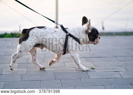 Side View Of Cute Male French Bulldog Walking, Lake On Background. Lovely White And Brown Small Dog