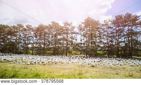Summer Flat Country Landscape: White Farm Geese In The Meadow In The Foreground, Pine Trees In The B