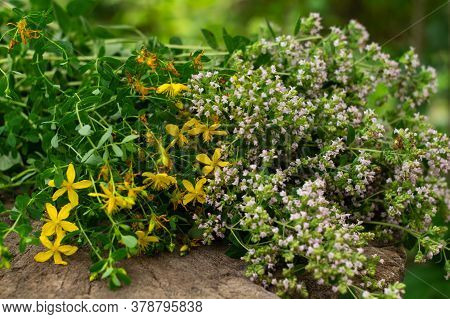 Bunch Of Flowering Oregano And Hypericum. Culinary Herb, Curative Plants