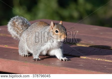 Portrait Of A Grey Squirrel (sciurus Carolinensis) On A Picnic Table In The Park.