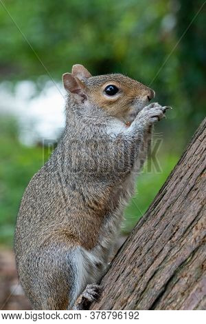 Portrait Of An Eastern Gray Squirrel (sciurus Carolinensis) Eating A Nut.